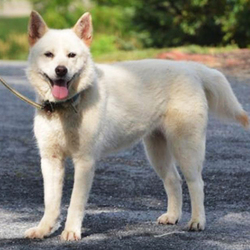Adopt a dog:Kulture/Husky Mix/Female/Adult,Kulture is a pretty white husky mix, spayed female about 2-3 years old. She came into the rescue very thin with a poor coat, she is looking great now and her coat is coming in beautiful! She gets along fine with other friendly dogs and is very well mannered on the leash. Being a husky, she is prone to wander and will require a securely fenced yard for exercise. She is very friendly and sweet-natured, but she can be a little reactive and nervous with new people and being restrained so children in the home should be over 10.