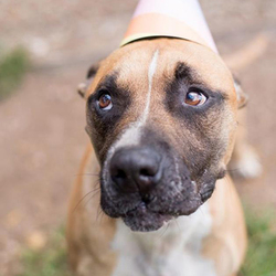 Adopt a dog:JJ/American Bulldog Mix /Male/Adult,