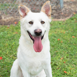 Adopt a dog:Storm/German Shepherd Dog Mix /Male/Adult,