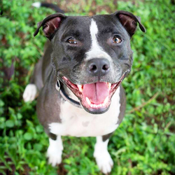 Adopt a dog:Elena/American Bulldog Mix /Female/Adult,