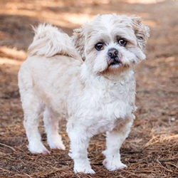 Adopt a dog:Oscar/Lhasa Apso/Male/Adult ,