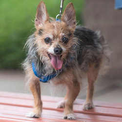 Adopt a dog:Nikki/Yorkshire Terrier Mix/Female/Senior,