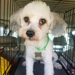 Adopt a dog:Cutler Bay/ Havanese /Male/Young,