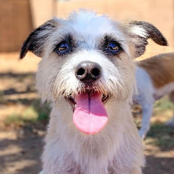 Adopt a dog:Minnie/Schnauzer Mix /Female/Small,