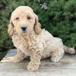Cambry/Goldendoodle/Female/8 Weeks