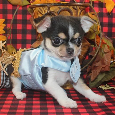 Felix/Chihuahua/Male/8 Weeks,Say hello to Felix! He's a very outgoing puppy and he's looking for a family where he would fit in! If you think you could be that family, then hurry up and pick him. He will be up to date on his vaccinations before coming home to you, so you can play as soon as he gets there. Hurry! He can't wait to meet his new family!
