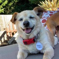 Adopt a dog:Leo/Corgi / Chihuahua Mix /Male/Senior,