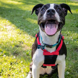 Adopt a dog:Astrid/Pit Bull Terrier Mix /Female/Young ,