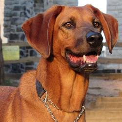 Adopt a dog:Konner/Hound & Labrador Retriever Mix/Male/Adult,