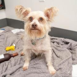 Adopt a dog:Titus/ Yorkshire Terrier Mix/Male/Senior,
