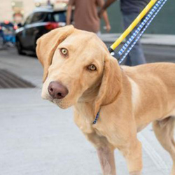 Monte/ Yellow Labrador Retriever Mix/Male/Young