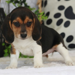 Adopt a dog:Flora/Beagle/Female/7 Weeks,Sweet little Flora is a princess and she knows it! She is already known here for her good looks and knows that she will be a hit with your friends and family. People will not be able to help but stop and stare when they see you out and about together. On top of being a gorgeous puppy, her personality will be sure to draw you in. She is sweet and kind with just the perfect hint of playfulness. Add this regal girl to your home today. Her fairy tale dream is waiting to start and she wants you to be by her side for it all.