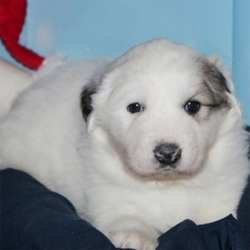Adopt a dog:Casper/Great Pyrenees/Male/5 Weeks,