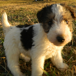 Teddy/Fox Terrier Mix/Male/6 Weeks