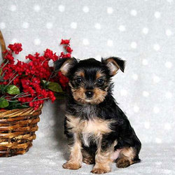 Hudson/Yorkshire Terrier/Male/14 Weeks