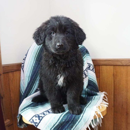 Duke/Goldendoodle/Male/12 Weeks,Check out this sweet Goldendoodle puppy, Duke! This friendly fella is vet checked, up to date on shots and dewormer, plus the breeder provides a 30 day health guarantee. Duke is very social and loves to play with children. If you are interested in learning more about this adorable pup, contact the breeder today!