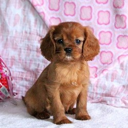 Owen/Cavalier King Charles Spaniel/Male/17 Weeks,Meet Owen, an adorable and bubbly Cavalier puppy who is being family raised. This pup is vet checked, up to date on shots and wormer plus the breeder provides a 1 year genetic health guarantee for Owen. And, Owen can be registered with the ACA. Both of Owen's parents are on the premises and available to meet. To learn more about Owen and how you can welcome him into your heart & home, call the breeder today!