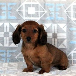 Snickers/Dachshund/Male/12 Weeks