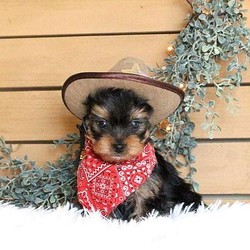 Wrangler/Yorkshire Terrier/Male/8 Weeks