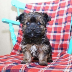 Roscoe/Yorkshire Terrier/Male/13 Weeks