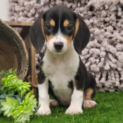 Brayden/Beagle/Male/16 Weeks