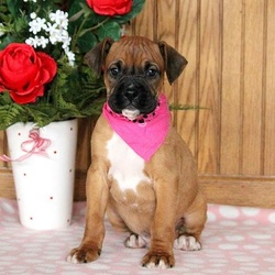 Ajay/Boxer/Male/14 Weeks