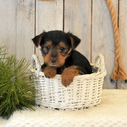Chai/Yorkshire Terrier/Male/11 Weeks
