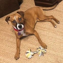 Adopt a dog:Jolene/Shepherd German / Terrier Pit Bull/Female/Young,