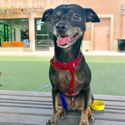 Adopt a dog:Osito/Terrier / Chihuahua Mix/Male/Adult,