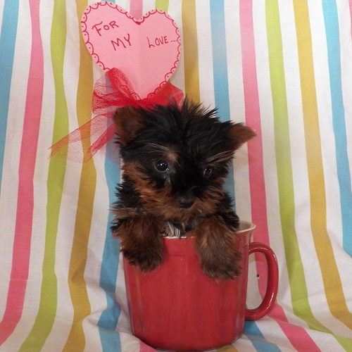 Jasper/Yorkshire Terrier/Male/13 Weeks,Meet Jasper, a cute and lovable Teacup Yorkshire Terrier puppy ready to be loved by you! This sweet pup is vet checked, up to date on shots and wormer, plus comes with a health guarantee provided by the breeder. Jasper is family raised with children and would make a lovable addition to anyone's family. To find out more about this happy pup, please contact Jonas today!