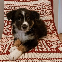 Poppy/Australian Shepherd/Female/13 Weeks