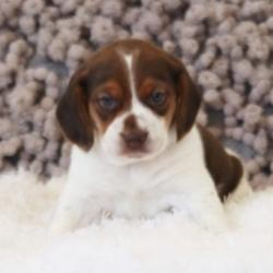 Marley/Beagle/Male/10 Weeks