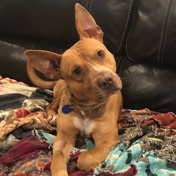 Bucky/ American Staffordshire Terrier / Terrier Mix/Male/Young