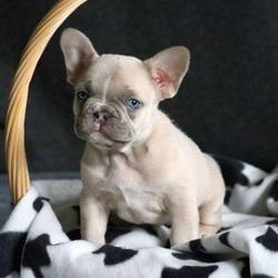 Congo/French Bulldog/Male/10 Weeks
