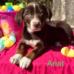Ariat/Australian Shepherd / Shepherd Mix/Female/Puppy