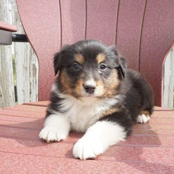 Sparky/Australian Shepherd/Male/8 Weeks