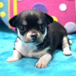 Poppy/Chihuahua/Female/6 Weeks