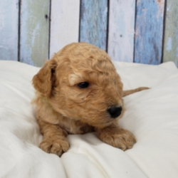 "Toby/Goldendoodle/Male/3 Weeks,""Hi, I'm Toby! It's very nice to meet you. I'm a very outgoing puppy and I'm looking for a family where I would fit in! If you think you could be that family, then hurry up and pick me. I will be up to date on my vaccinations before coming home to you, so we can play as soon as I get there. I'm very excited about meeting my new family, so please don't make me wait too long!"""