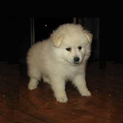 Abner/American Eskimo Dog/Male/7 Weeks