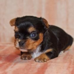 Alana/Yorkshire Terrier/Female/4 Weeks