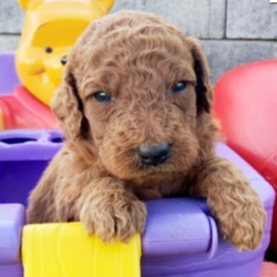 Pongo/Goldendoodle/Male/3 Weeks