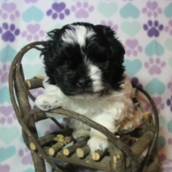 Oreo/Havanese/Male/5 Weeks