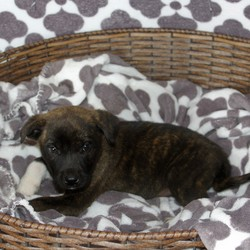 Adopt a dog:Ante/Mountain Cur/Male/Baby,Look at this cute little nine week old male. He is a Cur American Bulldog mix. If you would like to meet him please message us or call 601-587-7141 to schedule an appointment. Adoption fee includes first vaccination and spay/neuter services at 6 months of age.