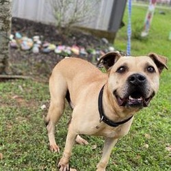 Adopt a dog:ROSCOE/Boerboel/Male/Adult,Hey guys! This is Roscoe with my weekly update. I have now been in foster care since March 25th. I love my foster family (both furry and skin), but its really time for me to find my furever home! I cant wait! I have a lot of love in store for my furever humans! My foster dad says Im ready, and he wants to be able to help other pups like me. I hope I can be adopted from foster care so I dont have to go back to the shelter. I was a bit stressed there! In the past 7 weeks I have been house trained, learned my commands, and learned to walk with my foster pack, on and off leash! Not bad for a senior pup like me! Im not destructive and I rarely bark (except when Im dreaming so they tell me). Im a very chill pup and love to lay at your feet, or next to you, until its time to go for a walk! All the good food and TLC has gotten me to come out of my shell. Ive started play-chasing my foster sister Nala and my foster dad. Nala can run circles around me, but Im going to catch her sooner or later! My other foster sister, Matisse is older, so I walk with her and make sure she is OK. Please call Fort Bend Animal Shleter and tell them you want Roscoe to be your furever companion. I wont disappoint!