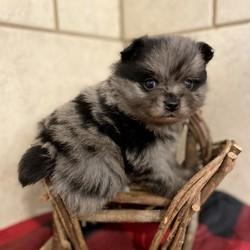 GiGi/Pomeranian/Female/5 Weeks