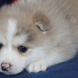 Mordecai/Pomsky/Male/4 Weeks