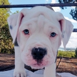 Star/Olde English Bulldogge/Female/12 Weeks,This little treasure is Star! Star can't wait to pack up her bags and head to her new home. She has been waiting patiently for you. She will be vet checked, up to date on vaccinations, and pre-spoiled before arriving to you, so she will be ready for your love. She is ready to shower you in puppy kisses. Pick up the phone and make Star a part of your family today!