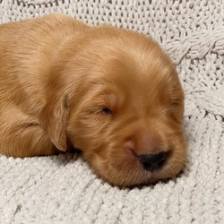 River/Golden Retriever/Male/3 Weeks,Meet River! This cutie is ready to wiggle his way into you home and heart. He is a sweet and handsome little guy that is sure to draw a crowd when you are out and about. This boy can't wait to shower you with all the puppy kisses he has to offer. He will arrive up to date on his vaccinations, vet checked and completely spoiled. Don't miss out on bringing this cutie home to your family. Once he is with you, you will wonder what you ever did without him!