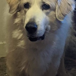 Adopt a dog:Alice/Great Pyrenees/Female/Senior,You can fill out an adoption application online on our official website. Please go to https://pawsitivelysaved.org  to Fill Out an Online Adoption Application! Alice has been a couch-hopper for far too long! She is a very sweet, and very loved older girl who has a very calm-nature and nurturing personality. She loved her old home a lot, but unfortunately due to her size she has ended up here with us at our Rescue. She found the right spot, considering we specialize in Pyrs. and working breeds, but due to her age we will have her put into a Foster-Home ASAP. She will be relaxing in her temporary living-arrangement until someone reaches out to us about this sweet older lady!!! She MUST have a 6 foot fence, she is NOT a farm/outdoor dog meaning she sleeps INSIDE, but she would still need plenty of room OUTSIDE as well! These breeds love to wonder around and explore their surroundings!  She will bark, and keep unwanted critters away from your property for you! She will also lay with you and put her head under your hand so that you can pet her easier! lol! Alice is a perfect-Pyrenees who needs a perfect home! She would LOVE it if her person either worked from home or was retired, that way she can have even more time to love you! She also LOVES older/considerate children/teens! She does great with the dogs here, and her previous family took her to the dog park often! She is up-to-date, but is too old to be spayed safely. We will not allow her in a home with any unaltered male dogs!!!