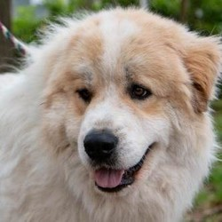 Adopt a dog:Pollux/Great Pyrenees/Male/Adult,You can fill out an adoption application online on our official website.  Hello! My name is Pollux and I have been at GPPR for about 5 months. I love it here in my foster home! They think I am handsome and smart, which I am of course. I am a male Great Pyrenees, about 5 years old, good with dogs, cats, rabbits and kids! However, I have not been around many kids. My foster Mom Joyce is feeding me lots of good food because she thinks I need to gain a little weight.  People say I have a great personality- I am quiet, easy going and my favorite thing to do is sit by my person. I love guarding my foster family's rabbits! My friends run the fence when the kids come by riding bikes, Dolly and the others bark, and I bark! It's so fun! I just love to watch them. Also, if you become my person, you will never have to go anywhere alone for I, Pollux, will be right with you. Being an easy-going guy, I love it when I am given attention!  Joyce says I am healthy, I drink loads of water but other than that, my vet says I am in good shape! I know how to sit, wait, shake and have a cute way of saying hello! Like I mentioned before, I am so smart. My foster Mom is a dog trainer extraordinaire and she thinks I, Pollux, would be a good therapy dog. I would love that because I love all the peoples and am calm, gentle and sweet! Pollux is currently being fostered in Texas but can be on the NW transport!  All our dogs require secure VISIBLE fencing. All current pets in adoptive home must be spayed/neutered and up to date on vaccinations.  Adoption Fee: $325  Transport Fee: $250  All our dogs are spayed/neutered, up to date on vaccinations and receive a certificate of health prior to transport.  Adoption applications can be found on our website: www.greatpyrsandpaws.org  https://greatpyrsandpaws.rescuegroups.org/forms/form?formid=5959  Northwest adopter pays cost of transport to independent transport company. Transport is arranged by GPPR.